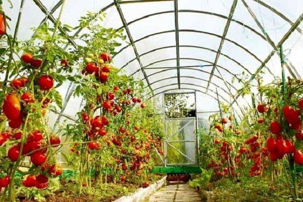 مرکز کشت گلخانه ای گوجه فرنگی در گالیکش راه اندازی می گردد