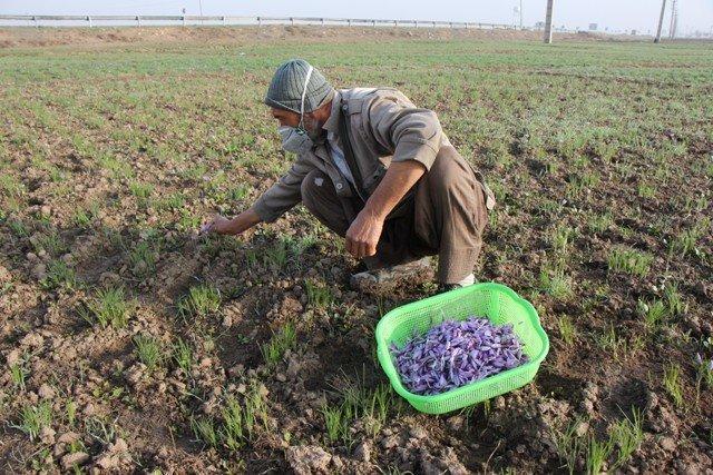 کاشت زعفران به روش ایروپونیک برای اولین بار در کاشمر