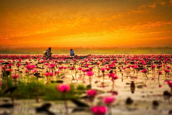 دشت عجایب نیلوفر قرمز در تایلند