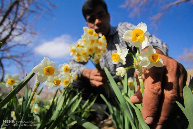 40 شاخه گل نرگس معادل قیمت یک بشکه نفت