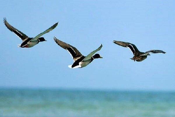 مهمان های هر سال وارد بهشت پرندگان شدند