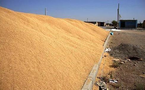 شروع رسیدگی به پرونده کشف 186 تن گندم تقلبی در اردبیل