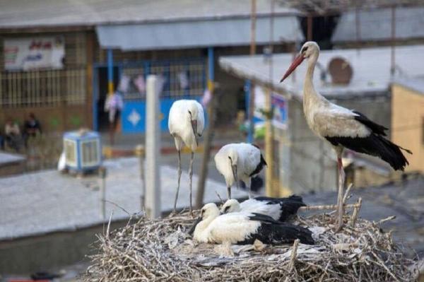 خبرنگاران 11 بال لک لک در مهاباد از شدت سرما به منازل مسکونی مردم پناه آوردند